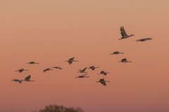 Grúas de Sandhill en la salida del sol Fotografía de archivo libre de regalías