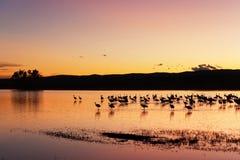Grúas de Sandhill en puesta del sol Foto de archivo libre de regalías
