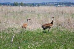 Grúas de Sandhill - reserva en Montana Imágenes de archivo libres de regalías