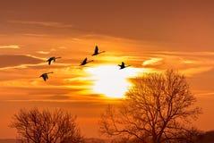 Grúas de Sandhill silueteadas en salida del sol Foto de archivo libre de regalías