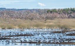 Grúas en el lago Hornborga en Suecia Fotografía de archivo libre de regalías