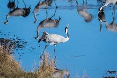 Grúas en el lago Hornborga en Suecia Fotos de archivo