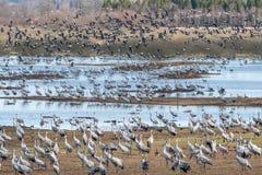 Grúas en el lago Hornborga en Suecia Fotos de archivo libres de regalías