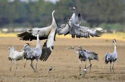 Grúas que bailan en el campo El grus común del Grus de la grúa Foto de archivo