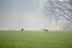 2 grúas que buscan la comida en un campo temprano por la mañana fotografía de archivo libre de regalías