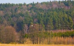 Grúas que vuelan en la primavera Imagenes de archivo