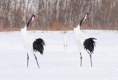grúas Rojo-coronadas en el refugio de aves, Kushiro, Japón imagen de archivo