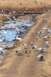 Grúas y cisnes de whooper Foto de archivo