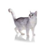 Grünäugige Katze von Zucht Britisch Kurzhaar Färben Sie schwarzes silbernes SH lizenzfreie stockfotos