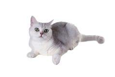 Grünäugige Katze von Zucht Britisch Kurzhaar Färben Sie schwarzes silbernes SH lizenzfreies stockfoto