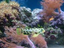 Grün beschmutzte Mandarine-Fische Stockfoto
