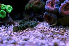 Grün beschmutzte Mandarine-Fische Lizenzfreie Stockfotos