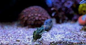 Grün beschmutzte Mandarine-Fische Stockfotos