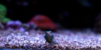 Grün beschmutzte Mandarine-Fische Lizenzfreies Stockfoto