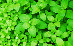 Grün-Blätter Lizenzfreie Stockfotos