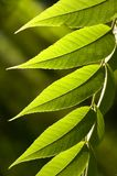 Grün-Blätter lizenzfreie stockfotografie