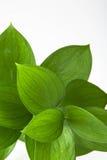 Grün-Blätter Stockfotografie
