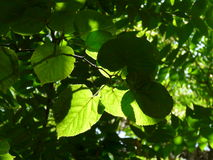 Grün Blätter Lizenzfreie Stockbilder