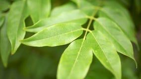 Grün-Blätter, die in den Wind beeinflussen stock video