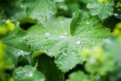 Grün-Blätter mit Wasser lässt Makro fallen Lizenzfreies Stockfoto