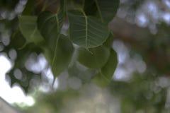 Grün Blätter Sri Maha Po Stockfoto
