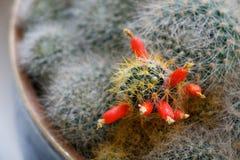 Grün blühte Kaktusnahaufnahme mit roten Blumen lizenzfreie stockfotos
