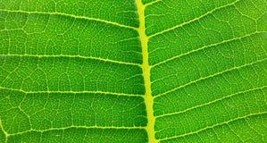 Grün, Blatt, Natur, greenleaf, natürlich, Baum, Beschaffenheit Lizenzfreies Stockfoto