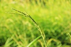 Grün, Blatt, Natur, natürlich, Reis bacground Stockbilder