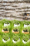Grün, das von den Eiern im Hintergrund keimt Lizenzfreies Stockfoto