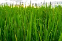 Grün des Reises Stockbild
