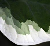 Grün farbiges Blatt Stockfotografie