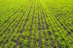 Grün-Felder mit jungen Sprösslingen Stockfotos
