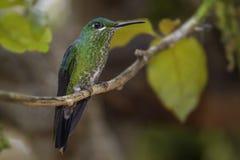 Grün-gekröntes glänzendes - Heliodoxa-jacula lizenzfreies stockbild