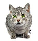Grün gemusterte beschmutzte Katze Stockfoto