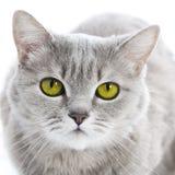 Grün gemusterte Katze Stockbild