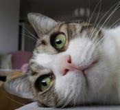 Grün gemusterte Katze Stockfotografie