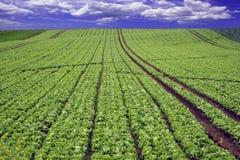 Grün gepflanztes Feld Stockfotos