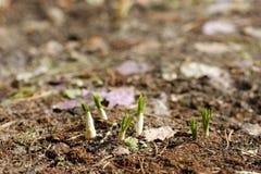 Grün keimt das Wachsen heraus vom Boden stockfoto