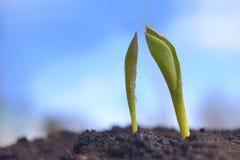 Grün keimt das Wachsen vom Boden Stockbild