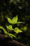 Grün lässt Ahorn im schwarzen Hintergrund Stockfotografie
