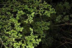 Grün lässt Beschaffenheit auf Niederlassung auf schwarzem Hintergrund Lizenzfreies Stockbild
