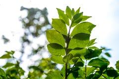 Grün lässt das Wachsen in der Sommerzeit Lizenzfreies Stockbild