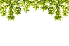 Grün lässt Feld getrennt auf weißem Hintergrund Stockfotos