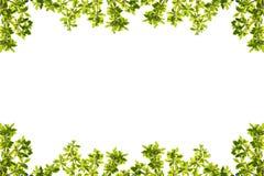 Grün lässt Feld getrennt auf weißem Hintergrund Stockfoto