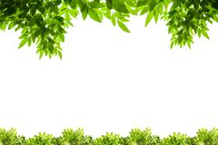 Grün lässt Feld getrennt auf weißem Hintergrund Stockfotografie