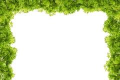 Grün lässt Feld getrennt auf weißem Hintergrund Stockbild
