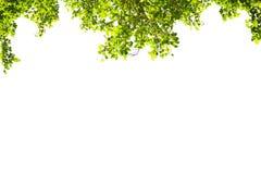 Grün lässt Feld getrennt auf weißem Hintergrund Lizenzfreie Stockbilder