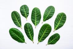 Grün lässt gelbe Adern des Acajoubaums Stockbilder