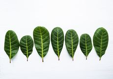 Grün lässt gelbe Adern des Acajoubaums Stockfotografie