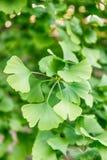 Grün lässt Ginkgo biloba auf einem Baum Grüner Frühlingshintergrund Lizenzfreies Stockbild